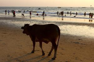 A Cow, Bos Taurus, Hanging Out at Baga Beach by Jill Schneider