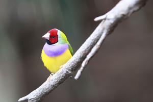 A Gouldian Finch Sits on a Tree Branch by Jill Schneider