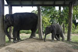 An Elephant Calf with Mother at the Elephant Breeding Center in Chitwan National Park by Jill Schneider