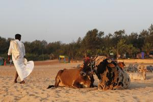 Two Cows, Bos Taurus, Resting on the Sand at Baga Beach by Jill Schneider