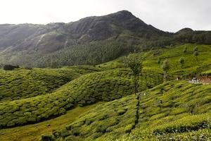 View of the Tea Plantations in Munnar, Kerala, India by Jill Schneider