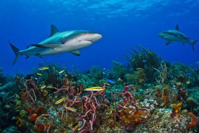 A Caribbean Reef Shark Swimming over a Reef