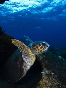 A Loggerhead Sea Turtle Swimming in a Reef by Jim Abernethy