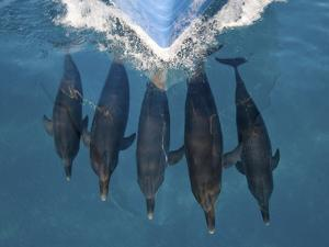 A Pod of Atlantic Spotted Dolphins, Stenella Frontalis, Bow Riding by Jim Abernethy