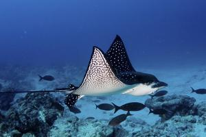 A Spotted Eagle Ray, Aetobatus Narinari, Swimming Over a Reef by Jim Abernethy