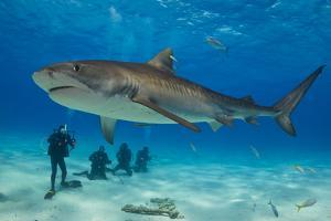 A Tiger Shark Swimming at the Sea Floor Near a Group of Divers by Jim Abernethy
