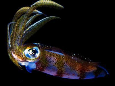 Close Up of a Caribbean Reef Squid, Sepioteuthis Sepioidea