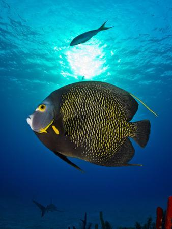 Portrait of a French Angelfish Swimming by Jim Abernethy