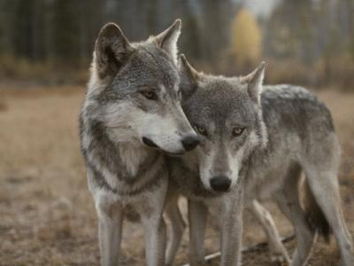 A Couple of Gray Wolves, Canis Lupus, Stand Next to One Another by Jim And Jamie Dutcher