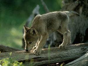 A Female Gray Wolf Pup Explores Log by Jim And Jamie Dutcher