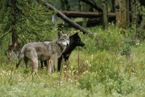 A Pair of Mid-ranking Male Alpha Gray Wolves by Jim And Jamie Dutcher