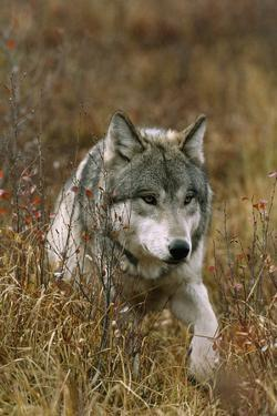 A Roaming Alpha Male Gray Wolf by Jim And Jamie Dutcher
