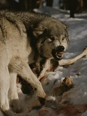 A Snarling Alpha Male Gray Wolf, Canis Lupus, Defends a Kill by Jim And Jamie Dutcher