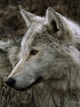 A Watchful Beta Male Gray Wolf in the Rain by Jim And Jamie Dutcher