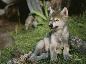 An 8-Week-Old Gray Wolf Pup, Canis Lupus, Bares His Teeth in a Snarl by Jim And Jamie Dutcher