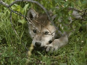 An 8-Week-Old Gray Wolf Pup, Canis Lupus, Peers From a Hiding Spot by Jim And Jamie Dutcher