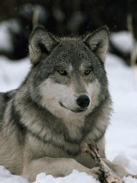An Alpha Male Gray Wolf of the Sawtooth Pack with a Bone by Jim And Jamie Dutcher