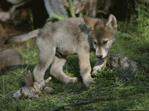 An Eight-Week-Old Gray Wolf Pup, Canis Lupus, Explores a Grassy Area by Jim And Jamie Dutcher