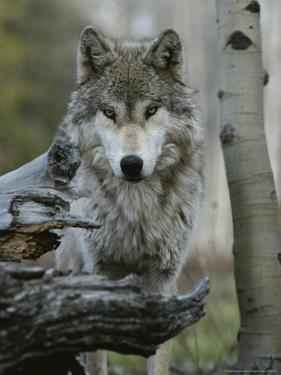 Beautiful Portrait of a Gray Wolf, Canis Lupus by Jim And Jamie Dutcher