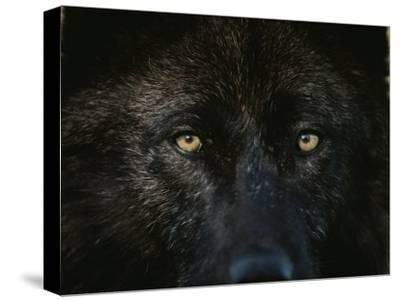 Black-Colored Gray Wolf, Canis Lupus, Stares with Golden Eyes by Jim And Jamie Dutcher