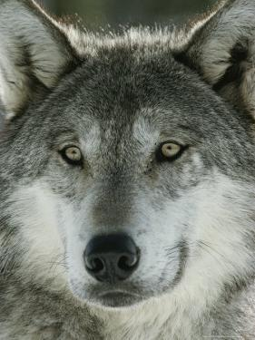Close View of the Face of a Gray Wolf, Canis Lupus by Jim And Jamie Dutcher