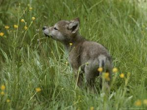 Five-Week-Old Gray Wolf, Canis Lupus, Sniffs at a Wildflower by Jim And Jamie Dutcher