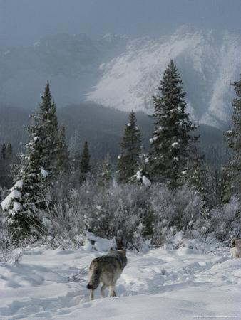 Gray Wolf, Canis Lupus, Passes Through a Snowy Mountain Landscape by Jim And Jamie Dutcher
