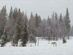 Gray Wolf, Canis Lupus, Stands Near Forest's Edge in a Snow Storm by Jim And Jamie Dutcher