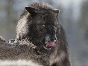 Gray Wolf Licks its Lips While Feasting on Mule Deer by Jim And Jamie Dutcher