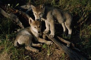 Gray Wolf Litter Mates by Jim And Jamie Dutcher
