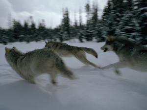 Gray Wolves in Pursuit of Game by Jim And Jamie Dutcher