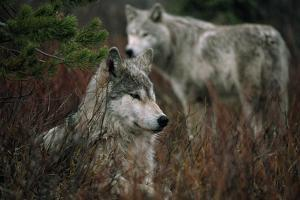 Gray Wolves in Red Willows by Jim And Jamie Dutcher