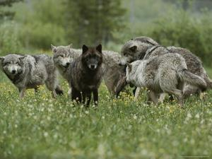 Group of Gray Wolves, Canis Lupus, Mill About in a Mountain Meadow by Jim And Jamie Dutcher