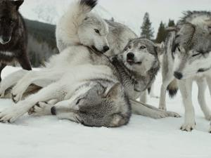 Group of Gray Wolves, Canis Lupus, Rally Together by Jim And Jamie Dutcher