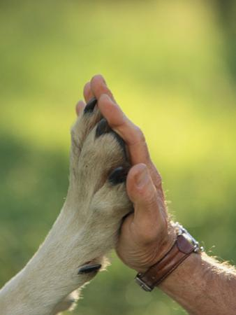 Jim Dutcher Places His Hand to the Paw of a Gray Wolf, Canis Lupus