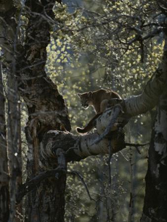 Mountain Lion Climbs up onto a Tree Limb by Jim And Jamie Dutcher