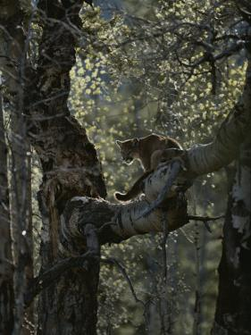 Mountain Lion Climbs up onto a Tree Limb by Jim And Jamie Dutcher