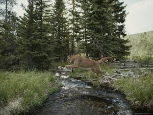 Mountain Lion Leaps across a Forest Stream by Jim And Jamie Dutcher