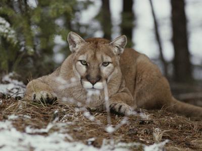 Mountain Lion Stalks its Prey by Jim And Jamie Dutcher