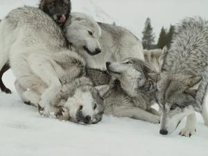Pack of Gray Wolves, Canis Lupus, Frolic in a Snowy Landscape by Jim And Jamie Dutcher