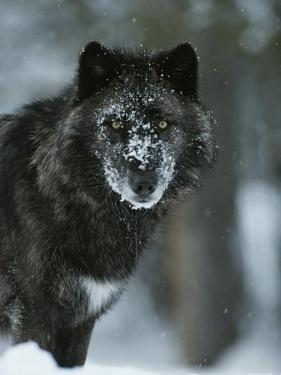 Snow Flakes Cover the Face of a Black-Colored Gray Wolf, Canis Lupus by Jim And Jamie Dutcher