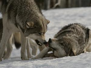The Alpha Male Gray Wolf, Canis Lupus, Dominates the Omega Wolf by Jim And Jamie Dutcher