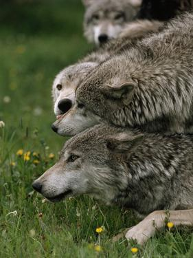 The Omega Is Literally at the Bottom of a Wolf Pack by Jim And Jamie Dutcher