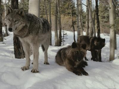 Trio of Gray Wolves, Canis Lupus, Rest in a Snowy Landscape by Jim And Jamie Dutcher