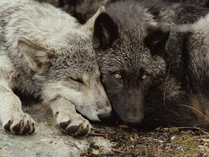 Twenty-Week-Old Gray Wolf Pups, Canis Lupus, Rest Together by Jim And Jamie Dutcher