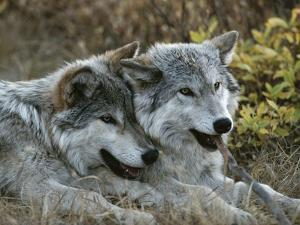 Two Gray Wolves, Canis Lupus, Rest after Playing with a Stick by Jim And Jamie Dutcher