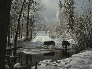 Two Gray Wolves, Canis Lupus, Stop at a Creek in a Snowy Forest by Jim And Jamie Dutcher