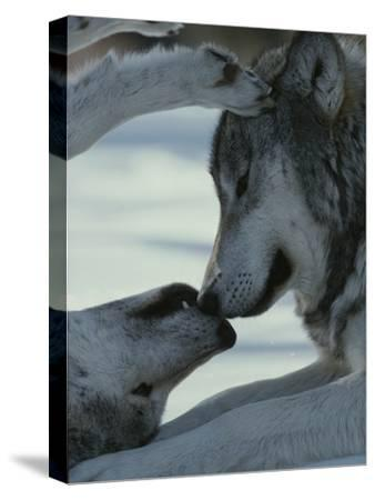 Two Gray Wolves, Canis Lupus, Touch Noses During a Tender Moment by Jim And Jamie Dutcher