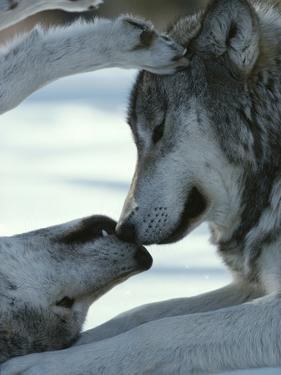 Two Gray Wolves Touch Noses during a Tender Moment by Jim And Jamie Dutcher