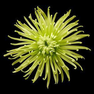 Chrysanthemum II by Jim Christensen